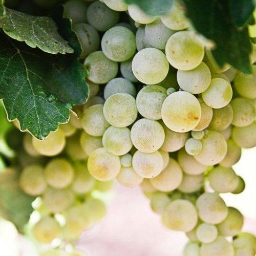 Vīnogas